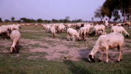 Grazende schapen