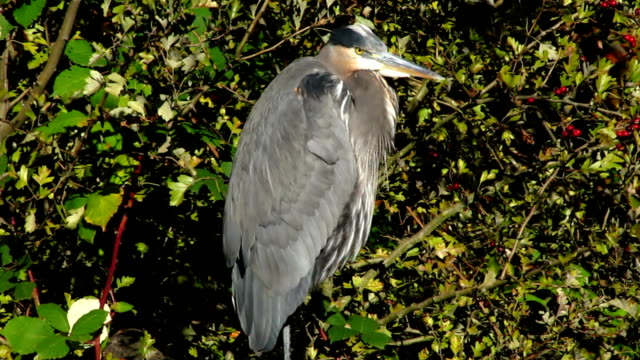 Great Blue Heron Perching on a Branch