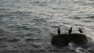 Great Cormorants Resting