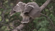 Great grey owl (Strix nebulosa) chick flies away in forest, Yellowstone, USA