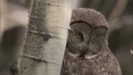 Great grey owl (Strix nebulosa) looks around in forest, Yellowstone, USA