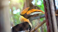 Great hornbill in cage.