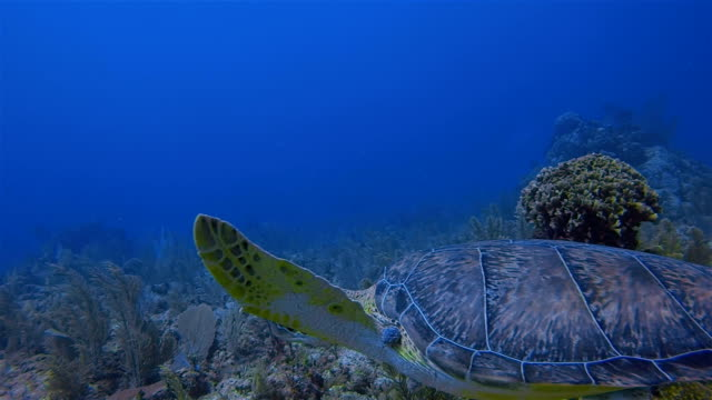 Great Maya Reef Scuba diving with Green Sea Turtle swimming in Caribbean Sea near Akumal Bay - Riviera Maya / Cozumel , Quintana Roo , Mexico