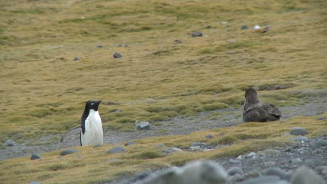 Great skua (Stercorarius antarctica) menaces adelie penguin (Pygoscelis Adeliae).  Arctowski Research Station, King George Island, Antarctica