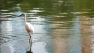 Great White Egret Walking
