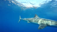 Great white shark coming up from the deep, Guadalupe Island, Mexico.