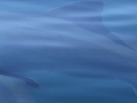Great white shark (Carcharodon carcharias), dorsal fin at suface.  South African waters