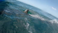Great white shark jumps and gets the bait and then does a slow pass past the camera, Gansbaai, South Africa