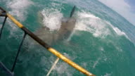 Great white shark jumps out water and then passes cage, Gansbaai, South Africa