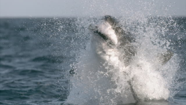 A great white shark leaps from the water to capture bait. Available in HD.