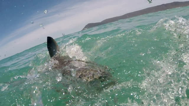 Great white shark partially breaches with mouth wide open showing all teeth, Gansbaai, South Africa