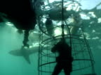 Great white shark (Carcharodon carcharias) past cameraman in shark cage. Cape Province.  South Africa