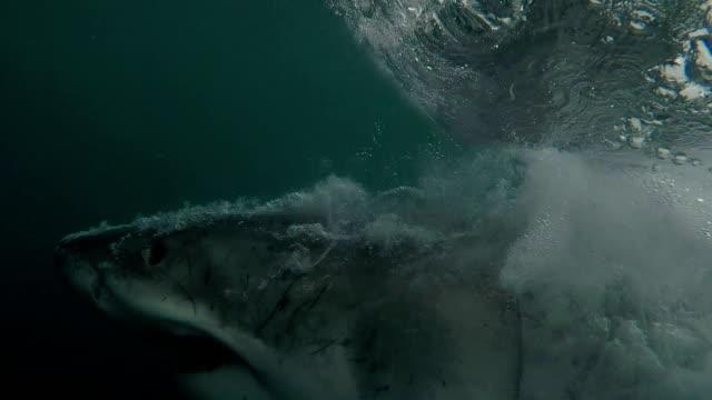 Great white shark shows off all his teeth while doing a partial breach, Gansbaai, South Africa