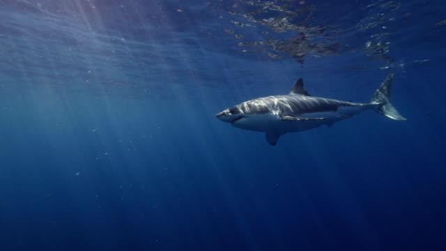 Great White Shark Slow Motion