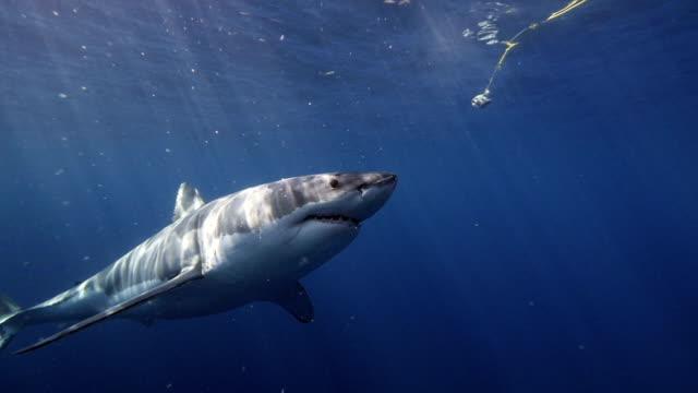 Great White Shark Zeitlupe