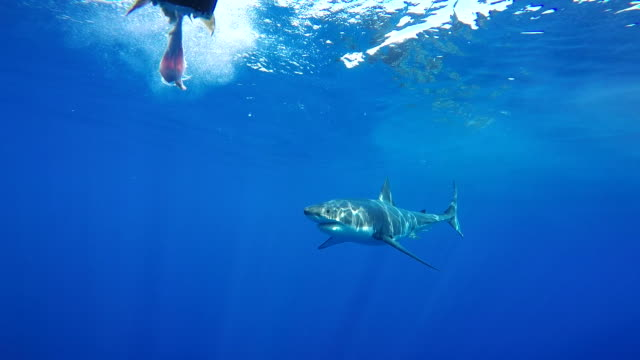 Great white shark swimming in front of the cage, Guadalupe Island, Mexico.