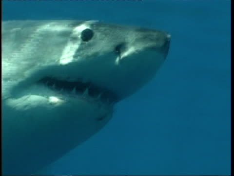 MCU Great White Shark swimming past camera, Guadalupe Island, Pacific Ocean