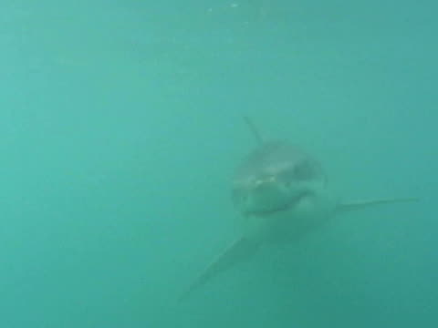 Great white shark (Carcharodon carcharias), swims.  South African waters