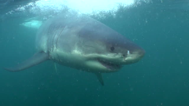 Great white shark swims straight at the camera, Seal Island, False Bay, South Africa.