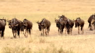 Great Gnu Migration in Kenia