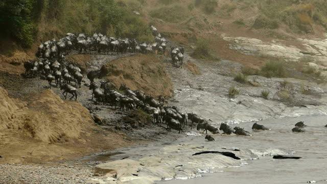 Grote Wildebeest migratie in Kenia