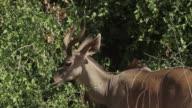 Greater Kudu (Tragelaphus strepsiceros) 1