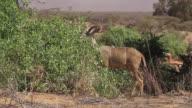 Greater Kudu (Tragelaphus strepsiceros) 2