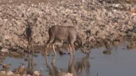 Greater Kudu (Tragelaphus strepsiceros) bulls drinking at waterhole, Etosha National Park, Namibia