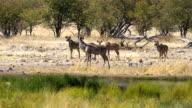Greater Kudu in Etosha, Namibia