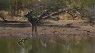 Greater Kudu Male Drinking in Waterhole