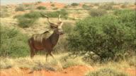MS TS Greater kudu walking / Kalahari, Northern Cape, South Africa