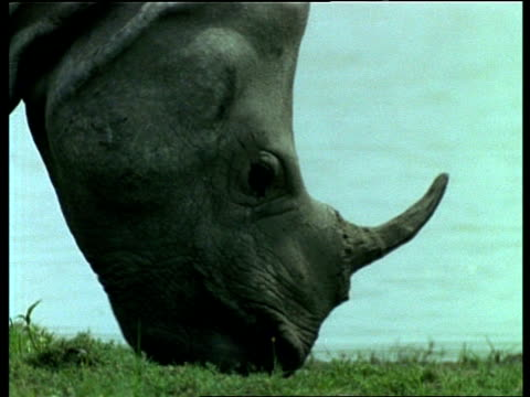 CU Greater One-horned Rhinoceros grazing, India