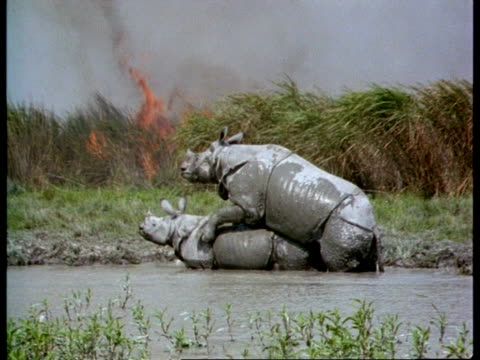 MS 2 Greater One-horned Rhinoceros mating in water, bushfire burning on riverbank, India