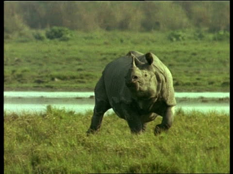 MS Greater One-horned Rhinoceros moving through grass, alert, India