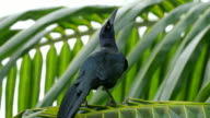 Great-Tailed Grackle or Mexican Grackle on Palm Tree