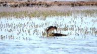 Grebes in the lake