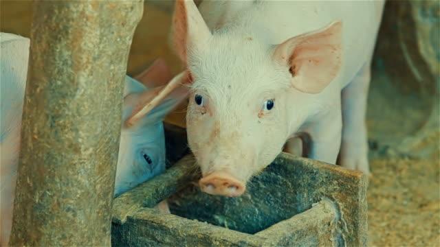 Greedy rural pig eating rice bran