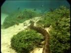 Green anaconda swims along river bed