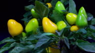 Green and yellow peppers ripening