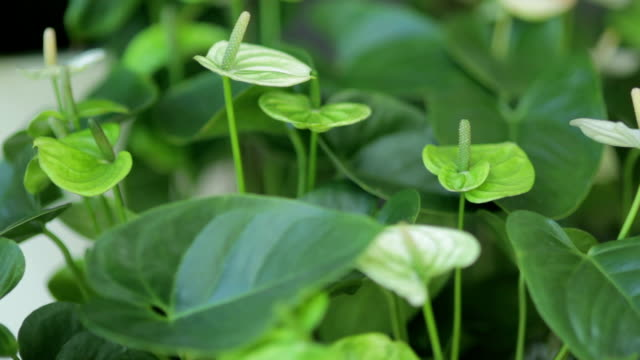 Green Anthurium blooming