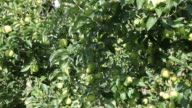 Green apples on trees