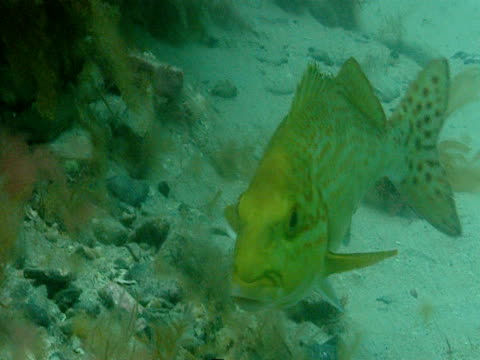 A green bass swims along the seabed.
