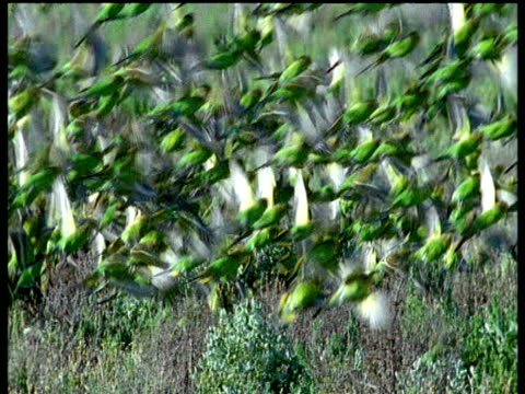 Green budgies take off and fly over outback
