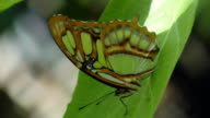 Green Butterfly sitting on a  leaf