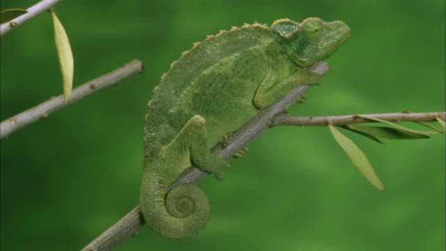 Green chameleon sits on twig and looks around whilst changing from light green to dark Available in HD.