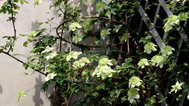 grüne Clematis im Garten wächst
