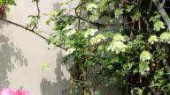 green clematisgrowing in the garden