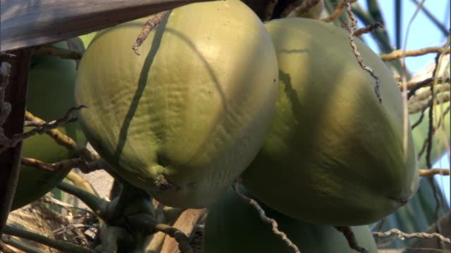 Green coconuts on coconut palm (Cocos nucifera), Tanzania