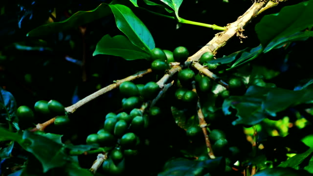Green Coffee Bean in Chiang Rai Province, Northern Thailand.