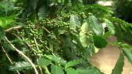 green coffee bean on it tree